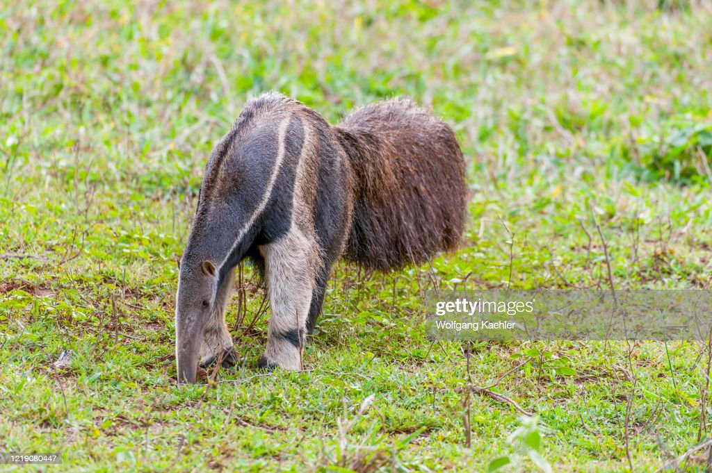 The endangered Giant anteater (Myrmecophaga tridactyla) at... : News Photo