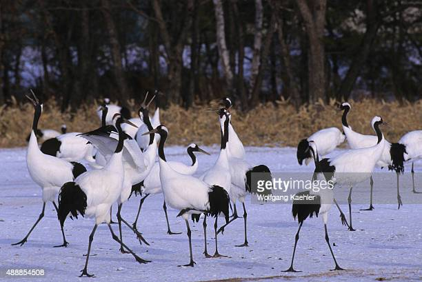 The endangered Japanese crane also known as the redcrowned crane is one of the rarest cranes in the world Here in the Watanabe Sanctuary near the...