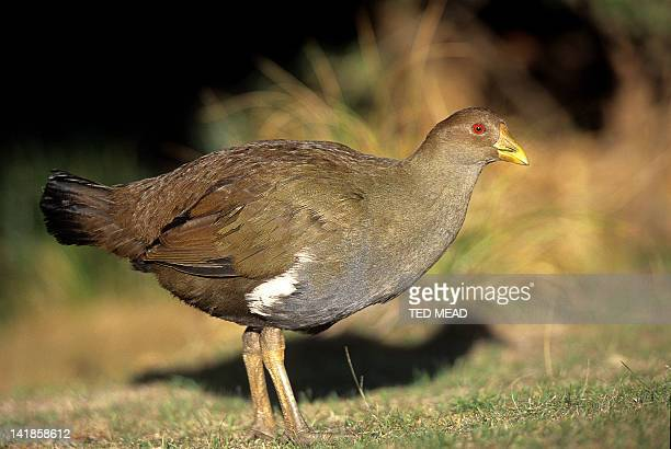The endemic and flightless Tasmanian Native Hen ( Gallinula mortierii )