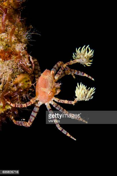 The endemic Hawaiian pom-pom crab or boxer crab, Lybia edmondsoni, is associated with anemones, Triactis sp, that it carries around holding with the...