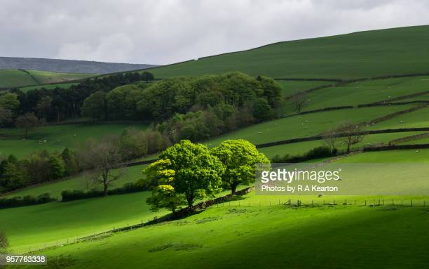 the english countryside in early may, hayfield, derbyshire - sycamore tree stock photos and pictures