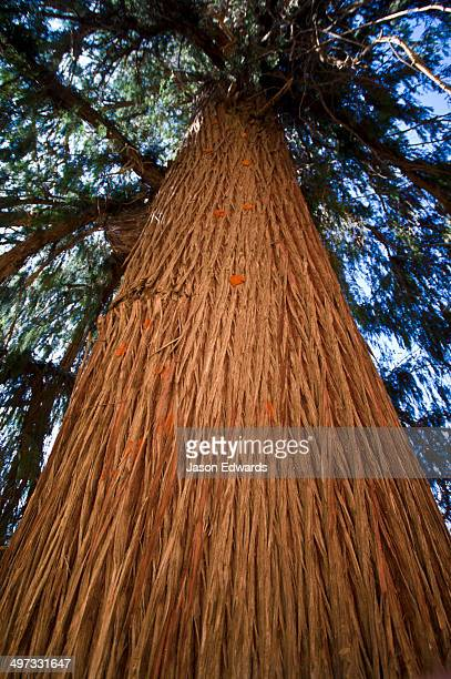 The enormous orange-ribbed trunk of Bhutan's national tree the Bhutan Cypress.