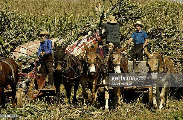 The Esh Family Amish farmers harvest corn by using a horse and muledrawn machine and cart 07 October near the town of Paradise Pennsylvania Amish are...