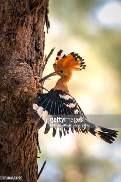 the eurasian hoopoe or common hoopoe (upupa epops) bird chicks prepares to fly out of the hole-nest - linda rama fotografías e imágenes de stock