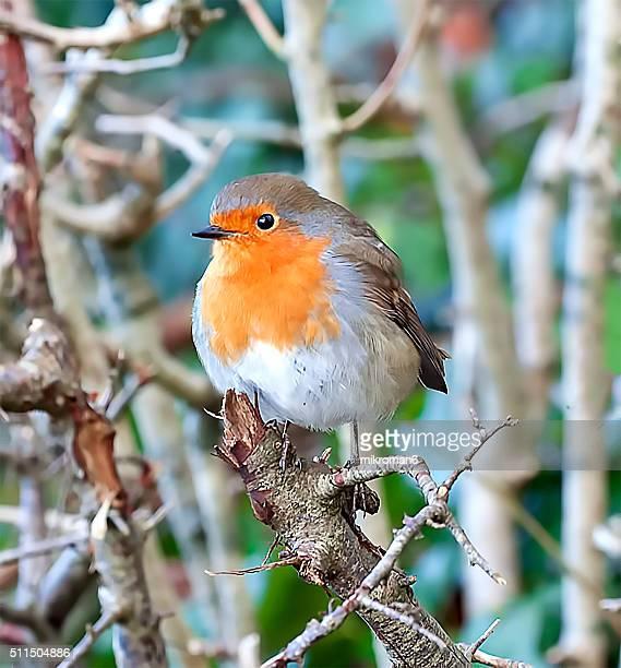 the european robin hiding in the trees - pettirosso foto e immagini stock