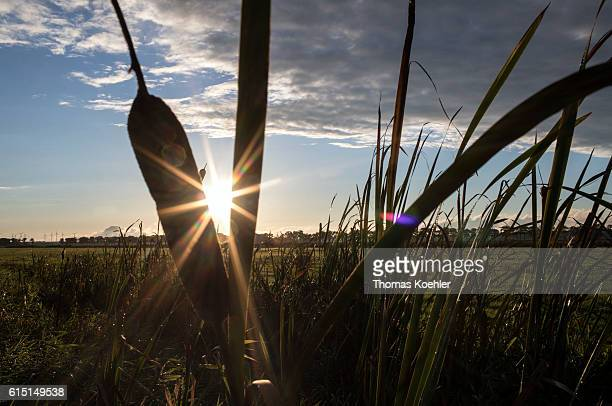 The evening sun shines between reeds Evening atmosphere in the national park Unteres Odertal on October 02 2016 in Gartz Germany