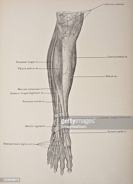 The extensor of digits is a muscle on the upper surfae of the foot that help extends the foot 1903 From 'Surgical Anatomy The Treatise of the Human...