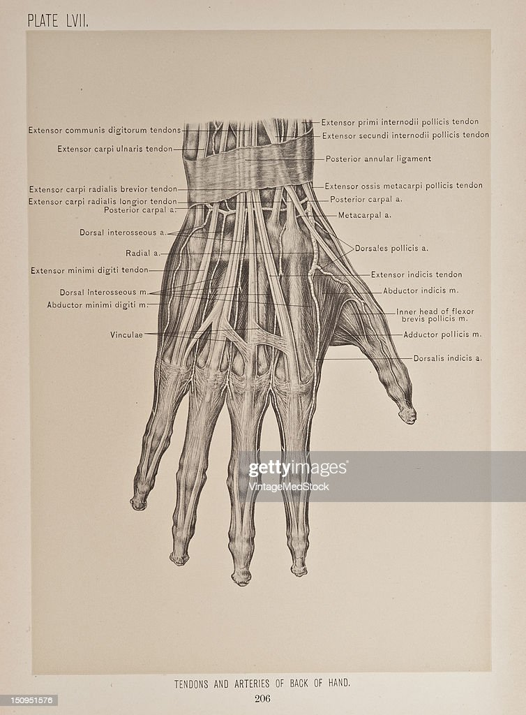 Tendons & Arteries Of Back Of Hand Pictures | Getty Images