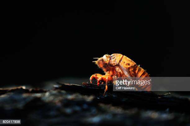 The exuviae of cicada clings to a tree during the second round of the Barbasol Championship at the Robert Trent Jones Golf Trail at Grand National on...