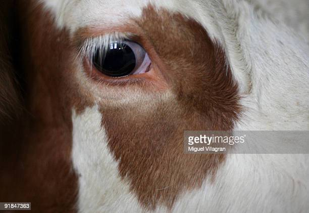 The eye of a cow is pictured on a farm on October 13, 2009 in Munich, Germany. Dairy farmers want regulation to shield them from volatile free...