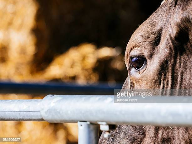 The eye of a cow