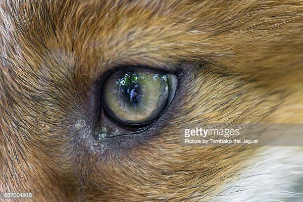 The eye of a fox