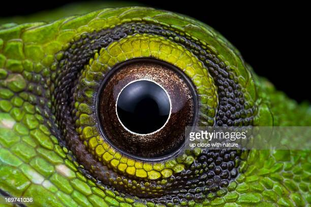 the eye of a green crested lizard - animal eye stock pictures, royalty-free photos & images