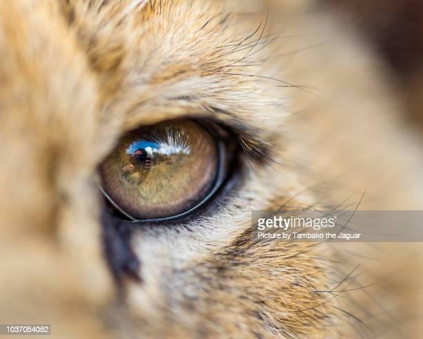 the eye of a lion cub - macro animal photos et images de collection