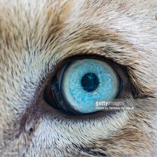 the eye of a white lion - animal eye stock pictures, royalty-free photos & images