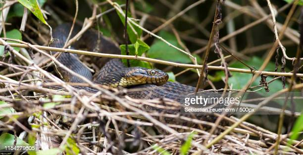 the eye of the cottonmouth - cottonmouth snake stock pictures, royalty-free photos & images