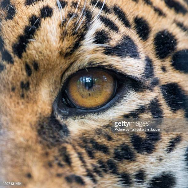 the eye of the jaguaress - animal eye stock pictures, royalty-free photos & images