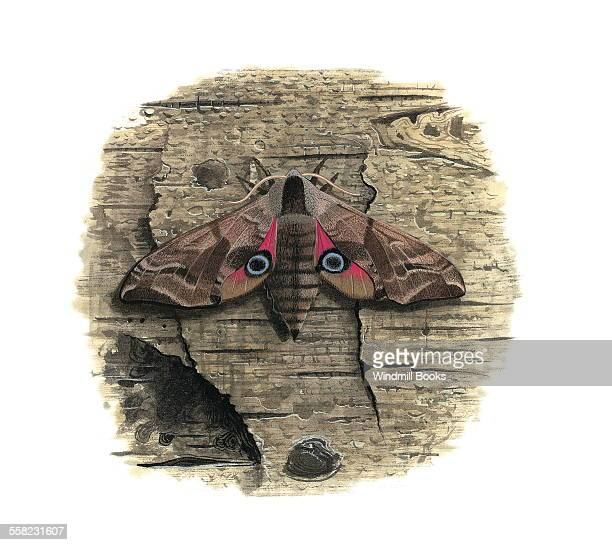 The Eyed HawkMoth showing its spots that are on each of the hind wings that look like eyes