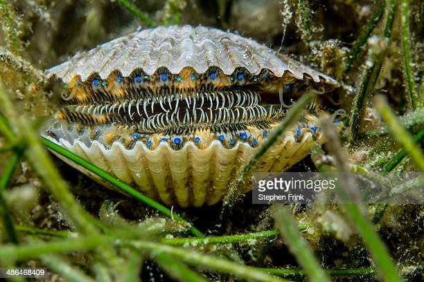 the eyes of a bay scallop. - scallop stock photos and pictures