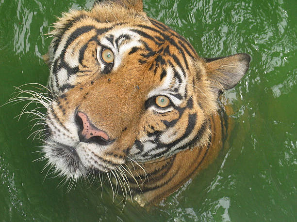 The Eyes of a Tiger !