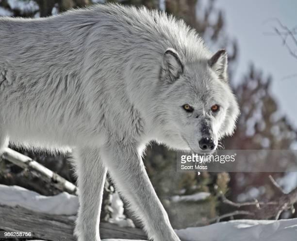 the eyes - loup blanc photos et images de collection