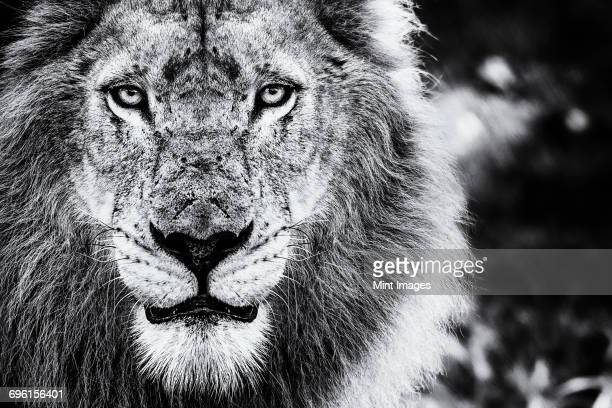 The face of a male lion, Panthera leo