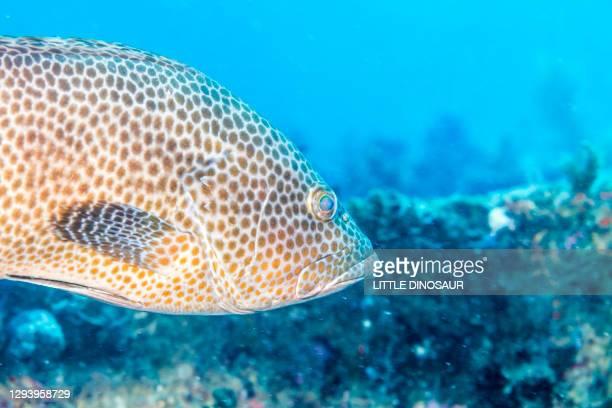 the face of areolate grouper (epinephelus areolatus) - スクーバダイビングの視点 ストックフォトと画像