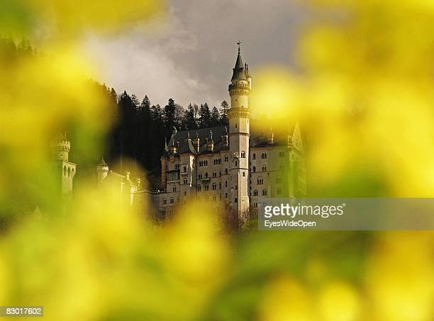 The 'fairy tale' castle Neuschwanstein is seen through flowers in yellow colours on September 24 2008 in Hohenschwangau Ostallgaeu Germany The castle...