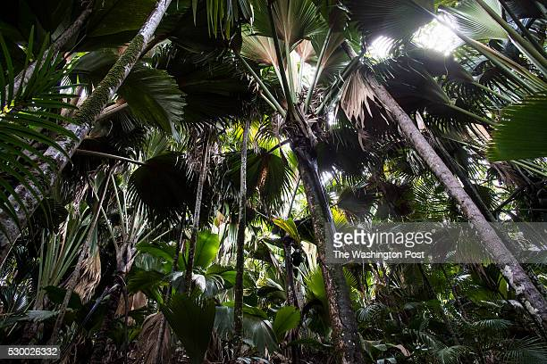 The famed coco de mer palm trees which are endemic to the Seychelles are seen in Praslin National Park on the island of Praslin in the Seychelles...