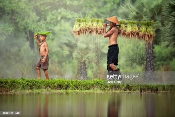 The family farmer Carrying rice on green fields ,Thailand