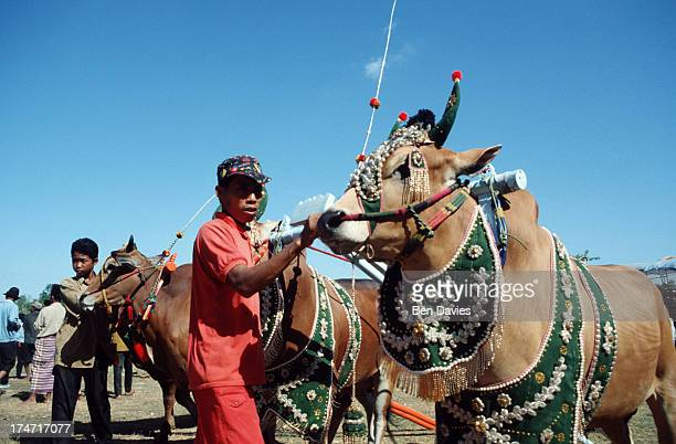 The famous bull races of Madura an island situated a onehour boat trip away from Java in Indonesia Specially trained bulls dressed in bright colours...
