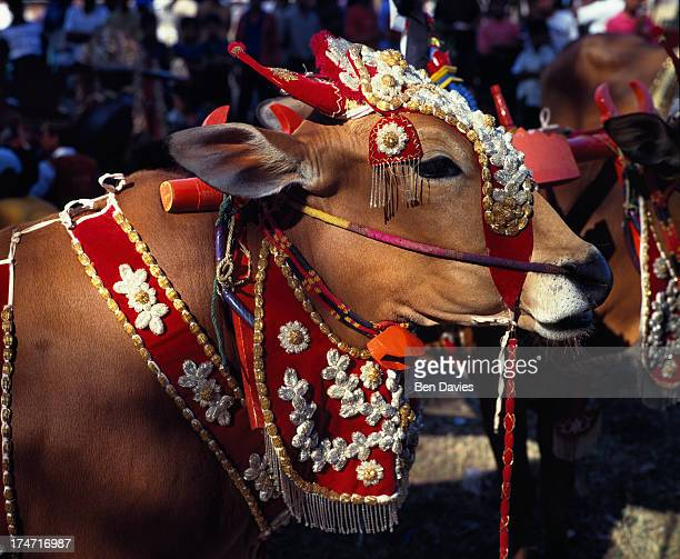 The famous bulls of Madura dressed in fine colours are paraded in front of crowds of local and foreign tourists during the bull races held annually...