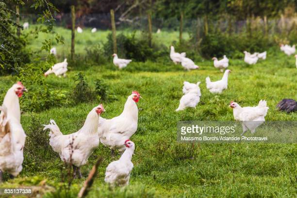 the famous chickens of the bresse - 放し飼いの鶏 ストックフォトと画像