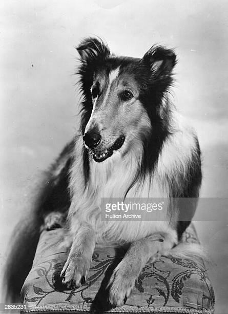 The famous dog Lassie who appeared in many children's adventure films A number of dogs appeared in the role of Lassie over the years though the...