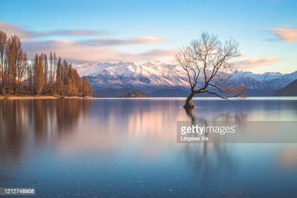 the famous lone tree of lake wanaka at sunrise, south island, new zealand - mirror lake stock pictures, royalty-free photos & images