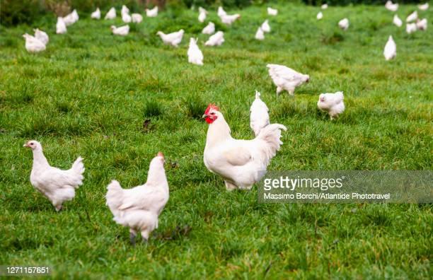 """the famous """"poulets de bresse"""", chickens of the bresse - ain bildbanksfoton och bilder"""