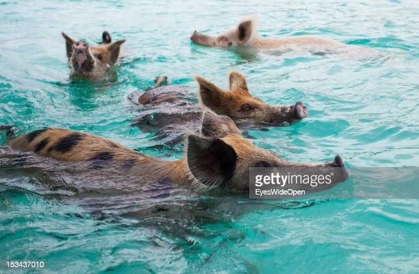 The famous swimming pink pigs at Staniel Cay on June 15 2012 in the Islands of the Exumas The Bahamas