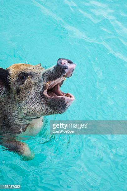 The famous swimming pink pigs at Staniel Cay on June 15, 2012 in the Islands of the Exumas, The Bahamas.