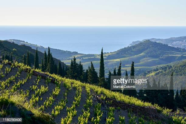 the famous vineyards of banyuls - languedoc rousillon stock pictures, royalty-free photos & images