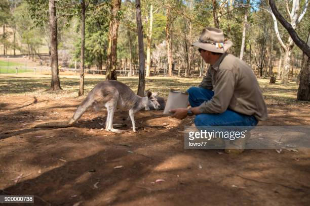 the farmer feeding the kangaroo - zoo keeper stock pictures, royalty-free photos & images