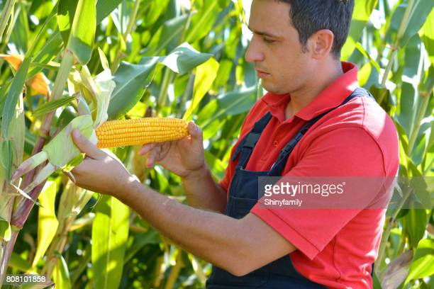 the farmer in the corn field, checking the maturity of the corn. - red shirt stock pictures, royalty-free photos & images