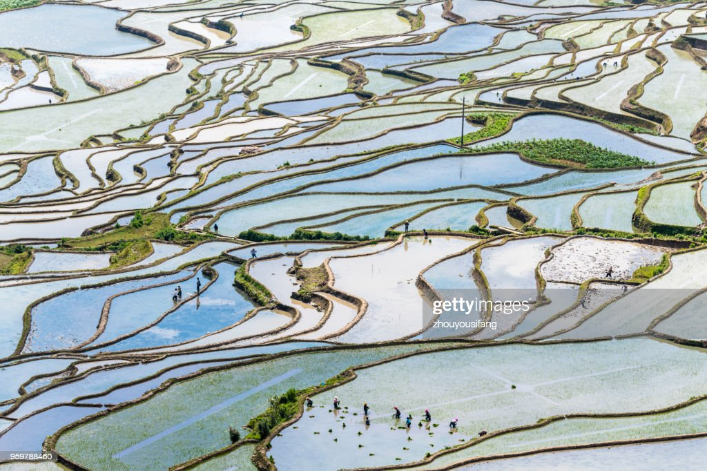 The farmer planted rice seedlings in the terrace : Stock-Foto