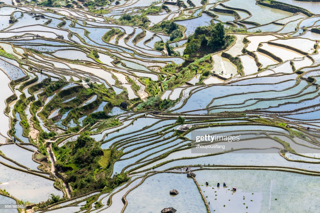 The farmer planted rice seedlings in the terrace : Stock Photo