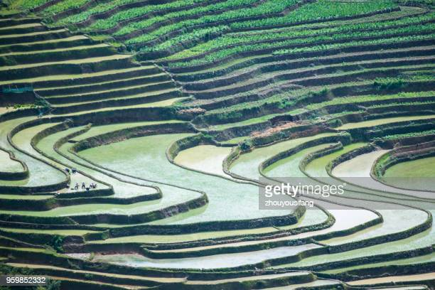 the farmer planted rice seedlings in the terrace - yuanyang stock pictures, royalty-free photos & images