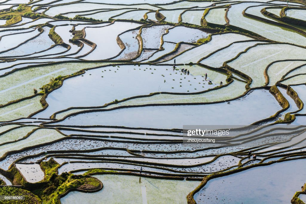 The farmer planted rice seedlings in the terraced fields : Stock-Foto