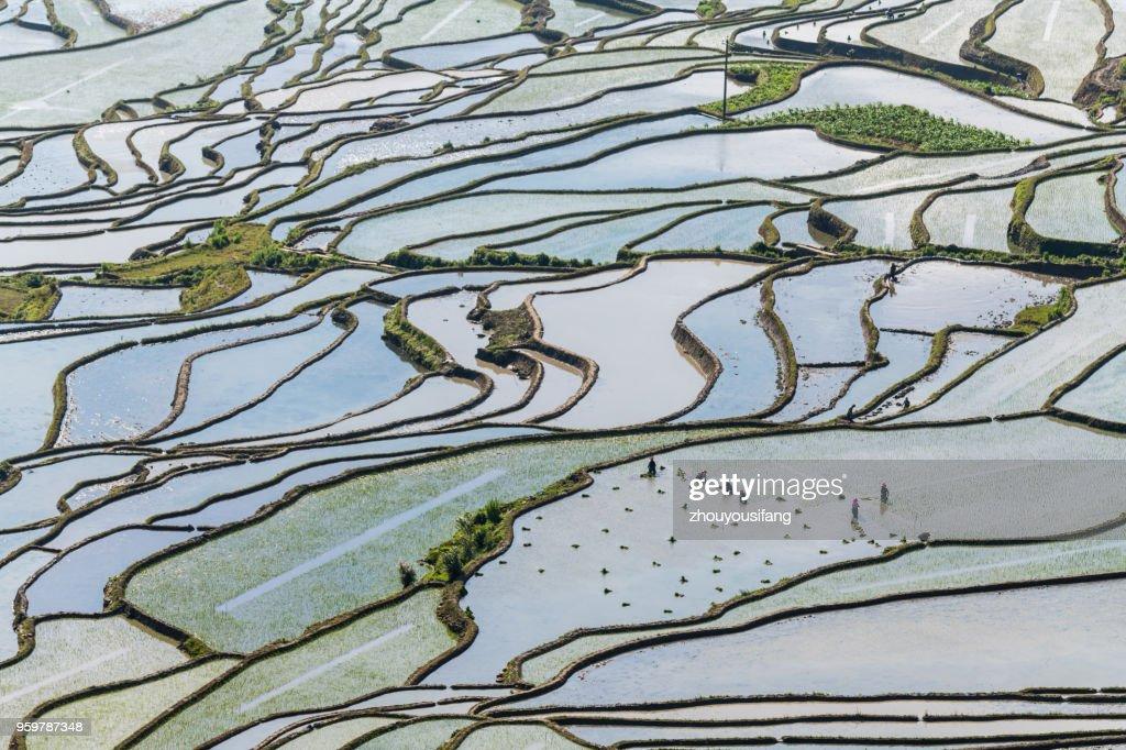 The farmer planted rice seedlings in the terraced fields : Stock-Foto