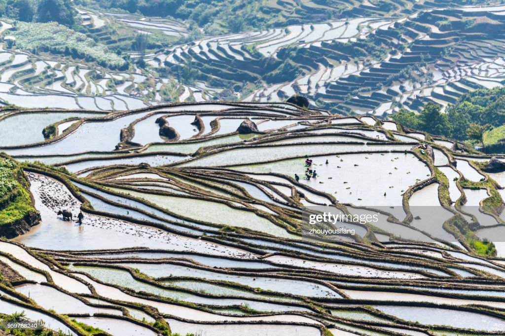 The farmer plow and planted rice seedlings in the terraced fields : Stock-Foto