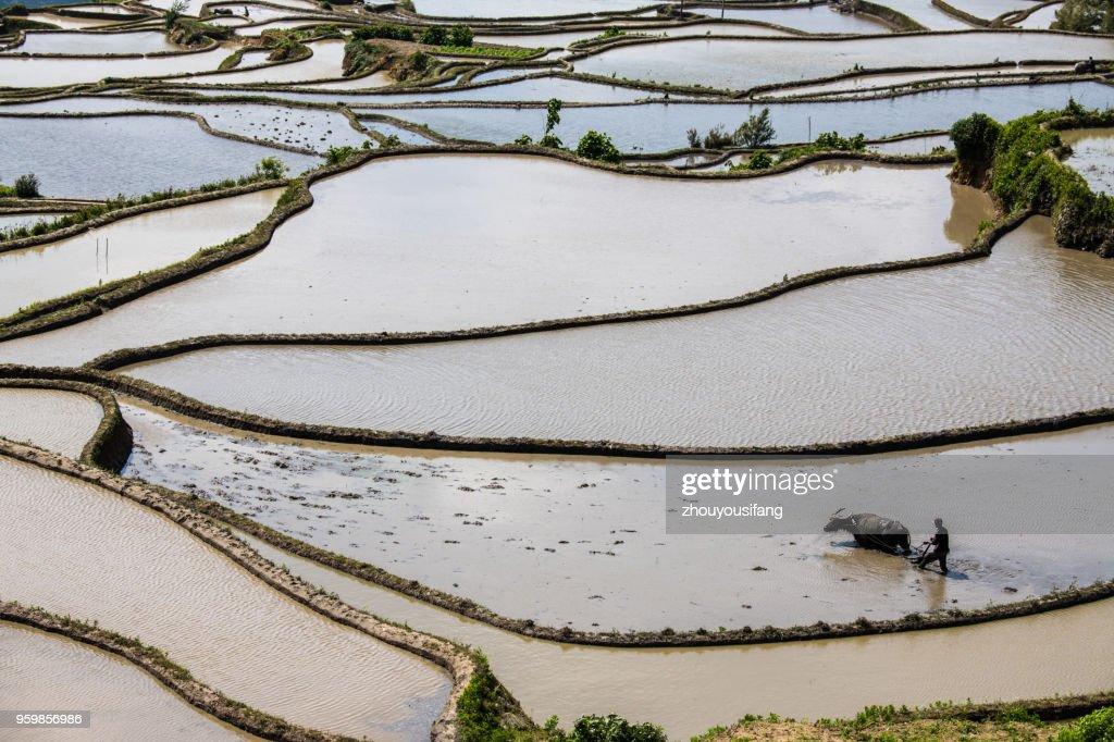 The farmer plow in the terraced fields : Stock-Foto