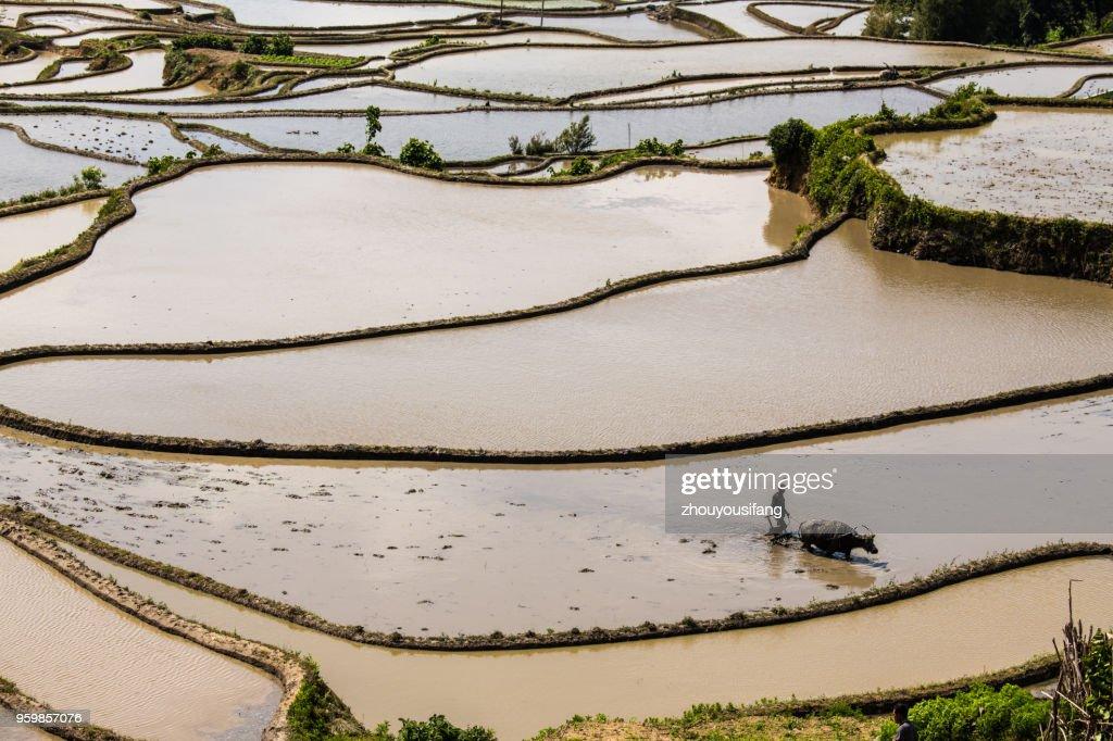 The farmer plow in the terraced fields : Foto de stock
