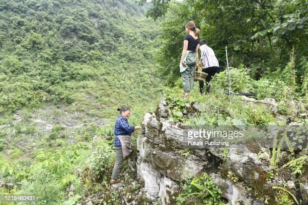 ANLONG CHINA MAY 27 2020 The farmers in polao village are picking Dendrobium flowers Anlong county Guizhou Province China May 27 2020 Polao village...
